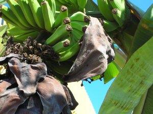 Blue skies and bananas