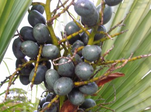 palm-berries-i