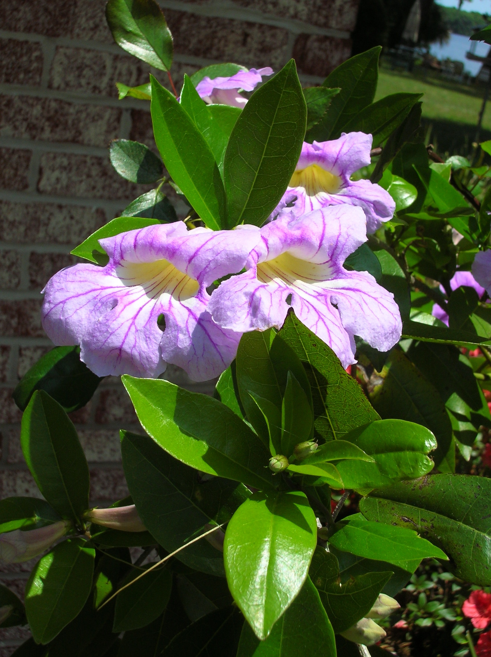 """A """"tropical"""" flowering vine that's hardy for North Florida"""