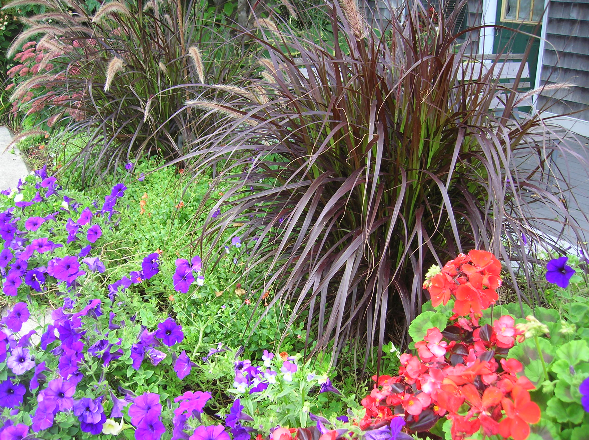 Purple fountain grass for color and texture for Ornamental grass with purple plumes