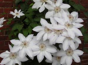 Clematis planting and pruning guide gardeningonthegos blog from roseville farms httprosevillefarms clematis pruning guide mightylinksfo