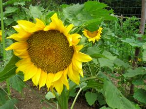 Combine cucumbers and VanGogh sunflowers for optimum results.