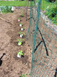 By removing tomato seedlings from their sixpacks and planting them in larger pots with good soil, they get a jumpstart on the growing season before they are ever planted in the garden.