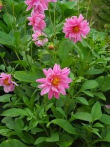 dahlias:pink