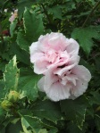 Sugar Tip double rose sharon**