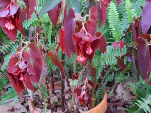 begonia:freeze damaged