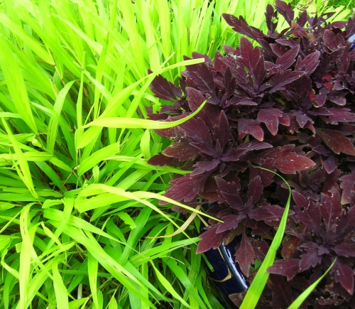 'Marooned' coleus:jpnse grass