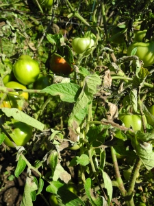 DIagnose tomato diseases, like this one, with a new AP available just in time for the growing season.