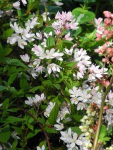 'Yuki Cherry Blossom' deutzia