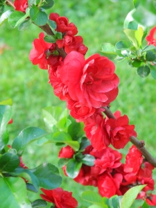 quince 'Scarlet Storm'